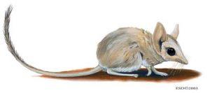 Antechinomys laniger, Australia, ratón marsupial saltador