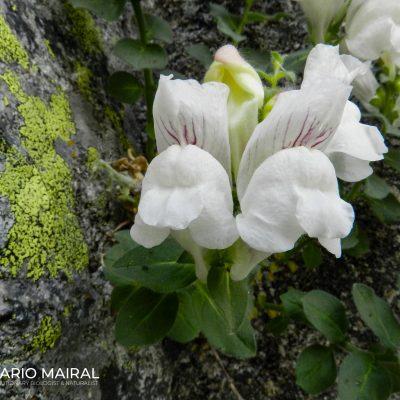 Antirrhinum grosii (Sierra de gredos, Spain)