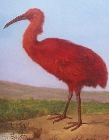 Aphanapteryx bonasia, rascón rojo de las mascareñas, siglo XVII