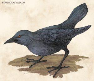 Aplonis corvina, kusiae (Islas Carolinas), estornino, siglo XIX, XX