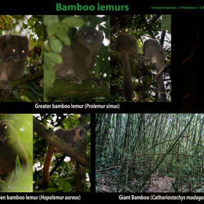 - Lémures del bamú El bambú gigante de Madagascar (Cathariostachys madagascariensis) forma densos bosques que alcanzan los 30 metros de altura. Su densidad es tal que es dificilísimo avanzar sin machete por esté hábitat, donde el bambú crece hasta 4 cm diarios. Este bambú es el principal alimento de varias especies de lémures del bambú, algunas de ellas en peligro de extinción. Estas especies, aunque ocupan el mismo nicho, no compiten entre ellas ya que consumen diferentes partes del bambú. Por ejemplo, mientras los lémures gigantes consumen las hojas y la médula del bambú, el lémur dorado del bambú se alimenta sólamente de brotes tiernos. Especialización muy singular, ya que los brotes tiernos contienen una gran cantidad de cianina, un compuesto muy venenoso al que los lémures dorados parecen haber desarrollado inmunidad, pudiendo consumir hasta el triple de la dosis de cianina que mataría a un humano adulto. Un estudio publicado recientemente anuncia que el lémur gigante del bambú está amenazado a causa del cambio climático. A este lémur se le considera el equivalente ecológico del panda gigante. Su alimentación es tan especializada que le hace ser extremadamente vulnerable a los cambios en la vegetación. En su caso, las estaciones áridas más largas reducirán los bosques de bambú y por lo tanto, sus poblaciones. http://www.cell.com/current-biology/fulltext/S0960-9822(17)31248-4