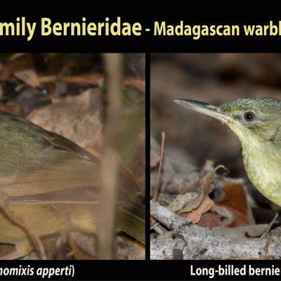 """Familia Bernieridae - tetrakas Una de las mayores sorpresas recientes para la ornitología a nivel mundial. Esta nueva familia de aves había permanecido totalmente totalmente oculta para la ciencia, con sus especies emplazadas en una mezcolanza de familias que se ha revelado errónea. Ahora sabemos que esta familia constituye una radiación adaptativa en Madagascar, formada por ni más ni menos que 11 especies, las cuales descienden de un antecesor común que colonizó la isla entre hace 9-17 millones de años. Algunas cuentan con una distribución muy restringida. Por ejemplo el tetraka de Appert (a la izquierda), cuyo último reducto es el bosque-isla de Zombitse. Estos """"microendemismos"""" son muy típicos en Madagascar y constituyen todo un aliciente y reto para el estudioso de la historia natural malgache. Otras especies están más ampliamente distribuidas, como el long-billed tetraka (derecha), cuyo largo pico constituye toda una rareza dentro de esta familia de insectívoros."""