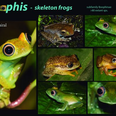 """Boophis. Este género de anfibios de la familia Mantellidae, constituye su propia subfamilia (Boophinae) endémica de las Mascareñas. Se les conoce como """"ranas esqueleto"""", ya que algunas tienen la piel tan fina que se pueden ver a simple vista sus huesos y órganos internos. Tienen caracteres típicos de ranas abóreas y muestra convergencias evolutivas evidentes con otras familias como Hylidae y Rhacophoridae. Su taxonomía es complicada. Actualmente cuenta con alrededor de 80 especies y continuamente se están describiendo especies nuevas."""