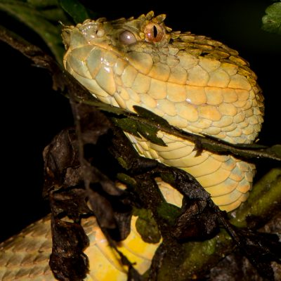 Bothriechis schlegelii (Colombia)
