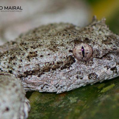 Bothriechis schlegelii (Costa Rica)
