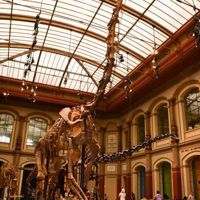 Brachiosaurus brancai (Natural History Museum)