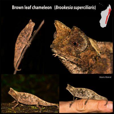 """Brookesia es el género de camaleones más diminuto del mundo. Constituyen el clado más basal de los camaleones, por lo que se les considera """"camaleones primitivos"""", que a diferencia del resto de camaleones, poseen hábitos más terrestres y coloraciones más discretas. Brookesia protagoniza una increíble radiación de 30 especies restringidas a Madagascar, muy poco conocidas y la mayoría descritas recientemente. Habrá sorpresas. En la foto, Brookesia superciliaris, recuerda a una hoja muerta y si se siente amenazado se enrolla y confía en su camuflaje. Habita las pluvisilvas al este de Madagascar."""