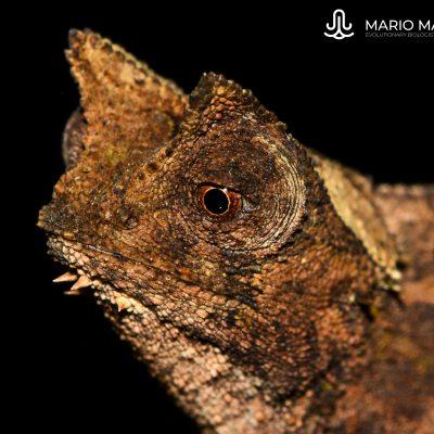 Brookesia superciliaris (Madagascar)