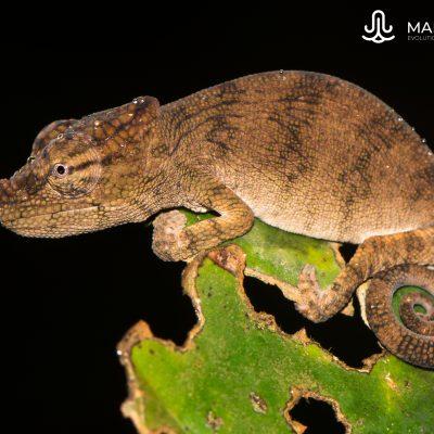 Calumna nasutum (Madagascar)