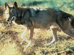 Canis rufus, lobo rojo, virtualmente extinto al haberse hibridado con Canis familiaris, norteamerica