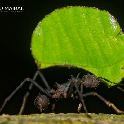 Cephalotes sp. (Ecuador)