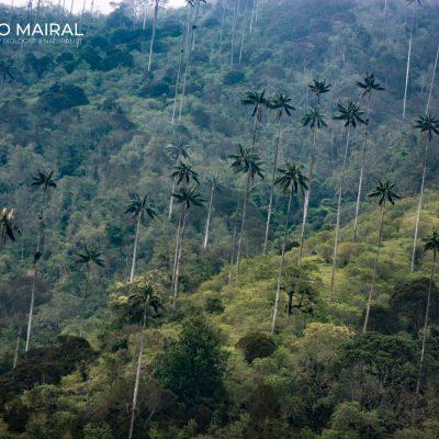 Ceroxylon quindiuense (Cocora, Colombia)