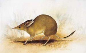 Chaeropus ecaudatus, bandicut de pies de cerdo, Australia 1920