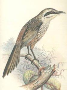 Chaetoptila angustipluma-kioea-de-hawai-1859