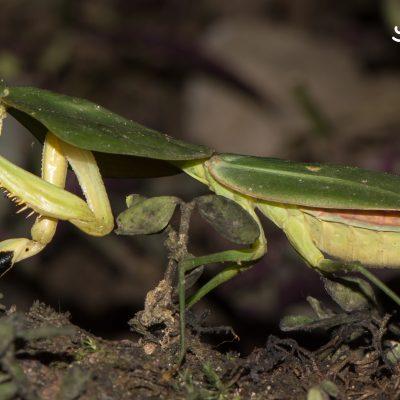 Choeradodis rhombicollis (Ecuador)