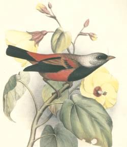 Ciridops anna-Hawai