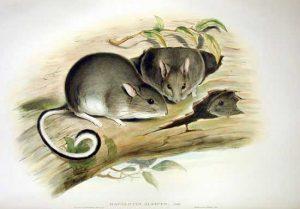 Conilurus albipes, rata arbórea australiana, 1875