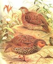 Coturnix novaezelandiae, 1869, codorniz de nueva zelanda