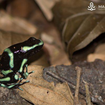 Dendrobates auratus (Costa Rica)