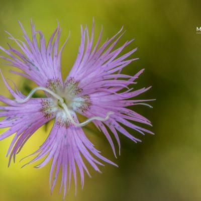 Dianthus hyssopifolius (Pyrenees, Spain)
