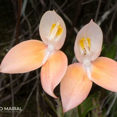 Disa uniflora (South Africa)