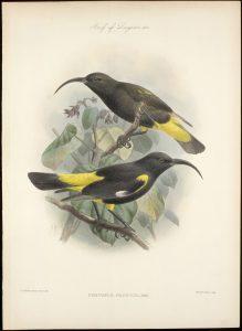 Drepanis pacifica, mamo en Hawai, 1898, plumas ornamentales para nativos