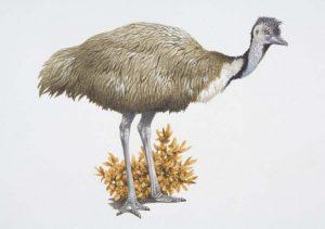 Dromaius novaellandiae, emú