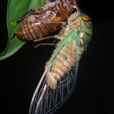 Cicada (Ecuador)