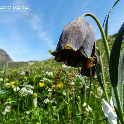 Fritillaria pyrenaica (Pyrenees, Spain)