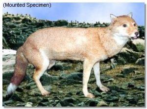 Dusicyon australis, perro de las Malvinas, 1876