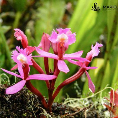 Epidendrum secundum (Ecuador)