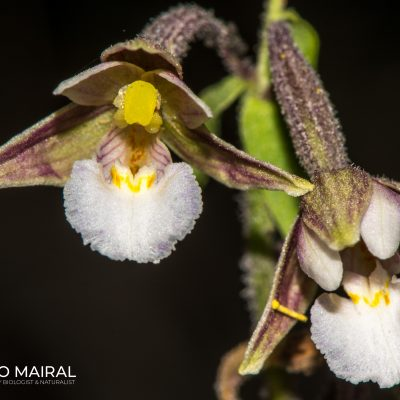 Epipactis palustre (Pyrenees, Spain)