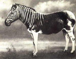Equus quagga, región del Cabo, muere en el zoo de amsterdam 1863
