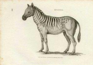 Equus quagga, región del cabo, muere en el zoo de amsterdam en 1863