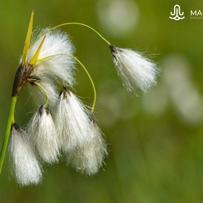 Eriophorum (Pyrenees)