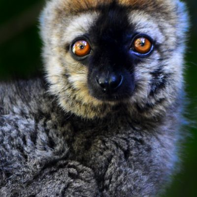 Eulemur rufifrons (Madagascar)