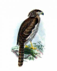 Eutriorchis astur, Madagascar 1930