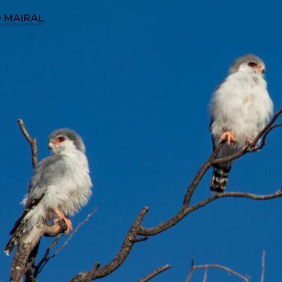 Falco sparverius (Kalahari, Southern Africa)