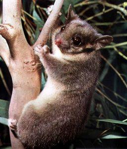 Gymnobelideus leadbeateri, redescuberta en 1961, Australia, estado desconocido