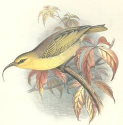 Hemignathus lucidus, Nukupuu, 1860