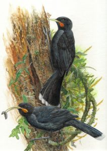 Heteralocha acutirostris, Nueva Zelanda 1907, huia