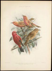 Himatione sanguineafreethii, Apapane, Hawai, 1923