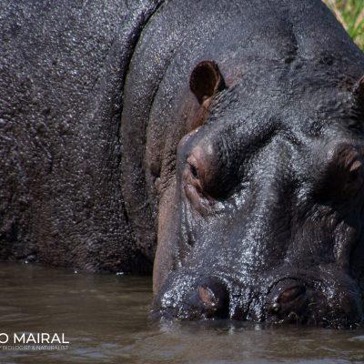 Hippopotamus amphibius (Botswana)