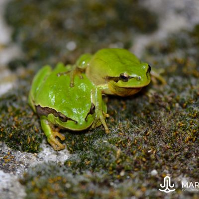 Hyla arborea and Hyla meridionalis (Spain)