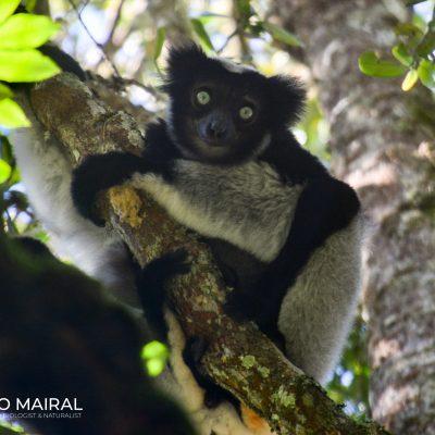 Indri indri (Madagascar)