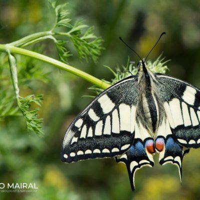 Iphiclides podalirius (Pyrenees, Spain)