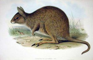 Lagorchestes leporides, 1890, Australia