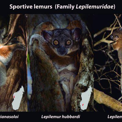 """Mario MP 30 de octubre de 2017 · Lepilemur - sportive lemurs Los famosos lemures son un tipo de primates totalmente exclusivos de Madagascar. El incremento de especies de lemures en las últimas décadas ha sido espectacular: a principios de los años 80 sólamente se reconocían 36 especies de lemures en todo Madagascar (Tattersall, 1982), mientras que a día de hoy ya conocemos más de 100 especies (Mittermeier, 2013). Algunos de los lemures que tuvimos la fortuna de encontrar en Madagascar fueron los pequeños lémures saltadores o """"sportive-lemurs"""". Estos lémures son un ejemplo espectacular de diversidad críptica. Durante muchos años fueron reconocidos como una única especie (Lepilemur mustelinus) distribuida por todos los bosques de Madagascar. Posteriormente esta especie fue separada en dos: una en las selvas del este y la otra en los bosques caducos del oeste. Sin embargo, gracias a evidencias cromosómicas y moleculares, en 2006 ya se conocían 8 especies y ¡a día de hoy se pueden contabilizar 26 especies dentro de su género (Lepilemur)! Cada una de estas especies ocupa un bosque diferente dentro de Madagascar, por lo que viven prácticamente sin solapar sus territorios, siendo un ejemplo de libro de la conocida como especiación alopátrica. Ahora sabemos que estos primates de encanto irrestible llevan 16 millones de años especiando alopátricamente. Su modo de vida es estrictamente forestal, pasan el día refugiados en pequeñas oquedades arbóreas y al caer la noche salen a devorar hojas. Sin embargo, la destrucción y degradación de sus bosques ha provocado que se encuentren en un gravísimo peligro de extinción."""