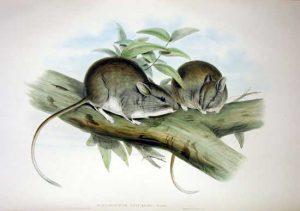 Leporillus apicalis, 1933, australia