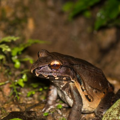 Leptodactylus rhodomerus (Ecuador)